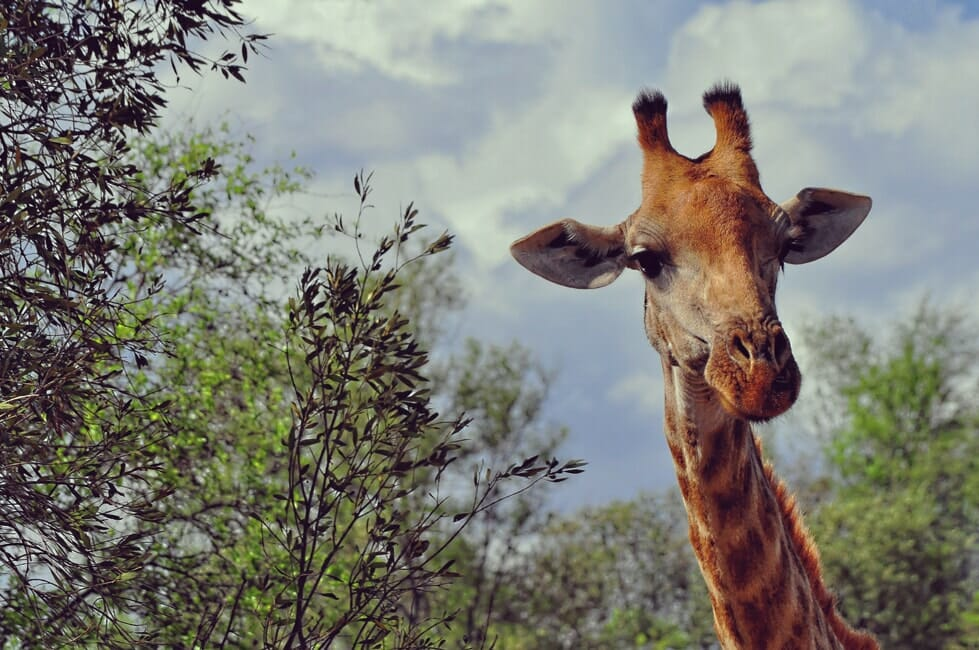Giraffe in the Pilanesberg national park