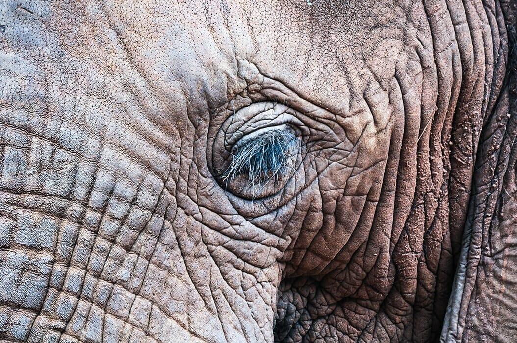 Elephant's eyelashes