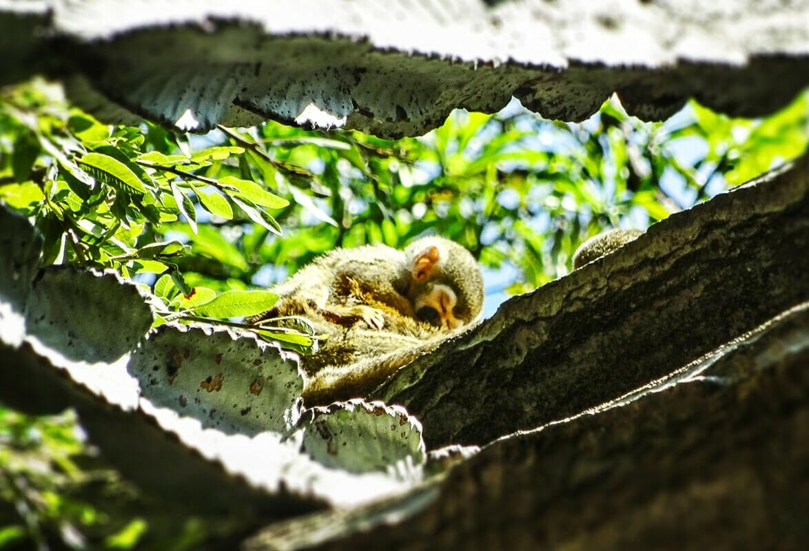 Sleeping baby squirrel monkey, Monkey Sanctuary
