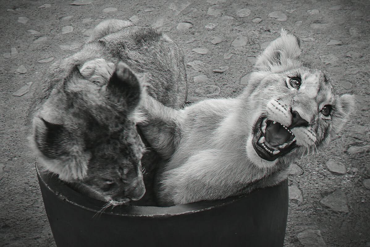 Lion Cubs 01
